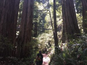 Hiking in the sun-dappled redwood forest of Jed Smith.