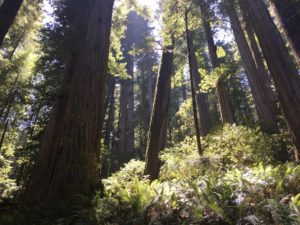 Beautifully backlit stand of redwoods in Jed Smith State Park.