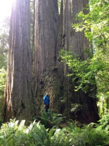 Damien in front of a mammoth co-dominant redwood.