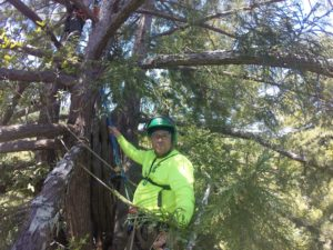 "Jake Milarch, 200 feet up a giant sequoia, getting ready to assist others in ascending the tree via an ""elevator."""