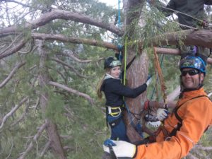 Edie Juno, Archangel intern, takes her turn at the 200 foot level of a giant sequoia.
