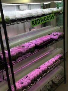 Once the plantlets are in their culture vessels they are put under special spectrum lighting.