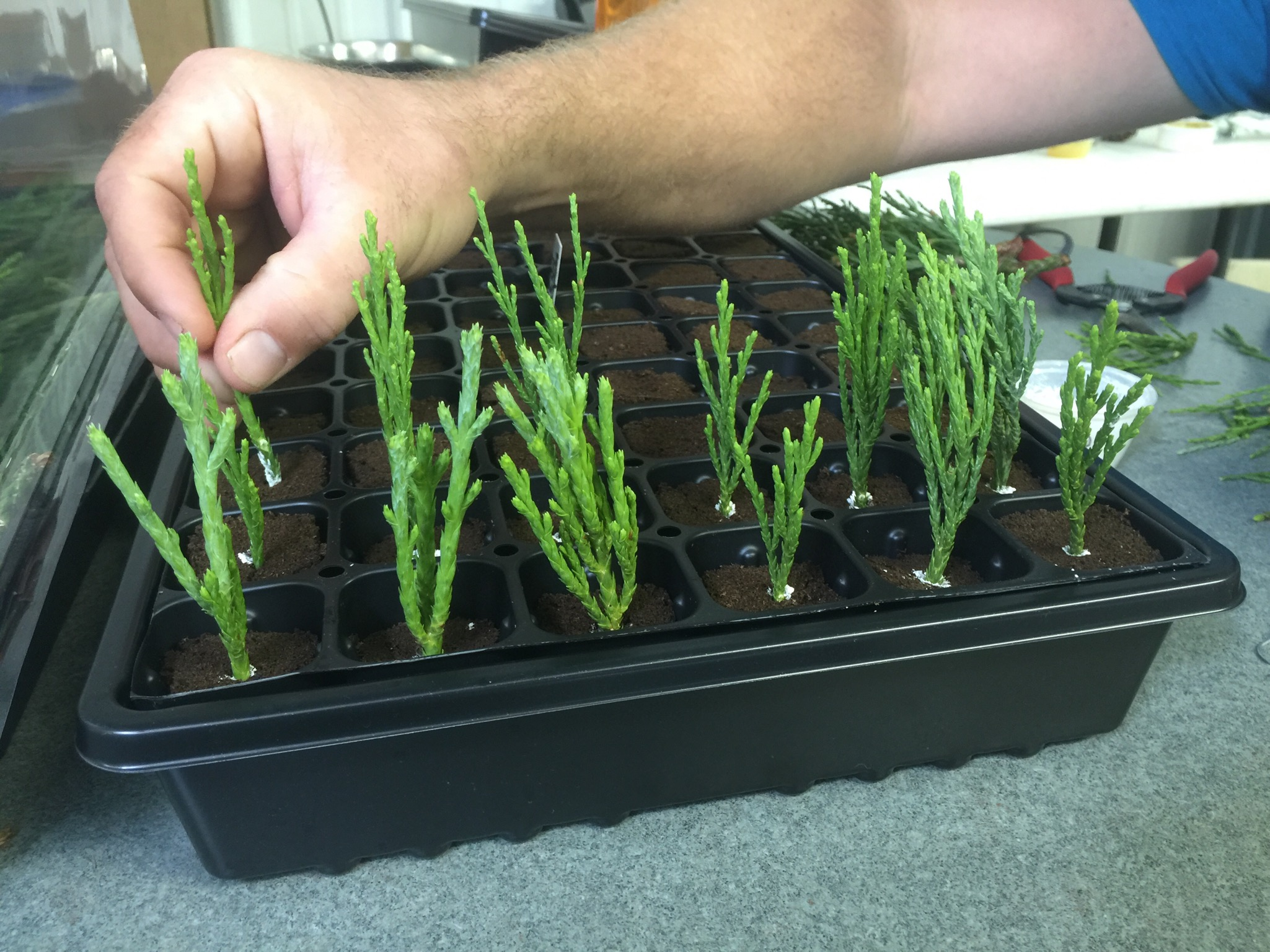 27. Here is a partial tray of cuttings after they have gone into their new protective peat blocks.