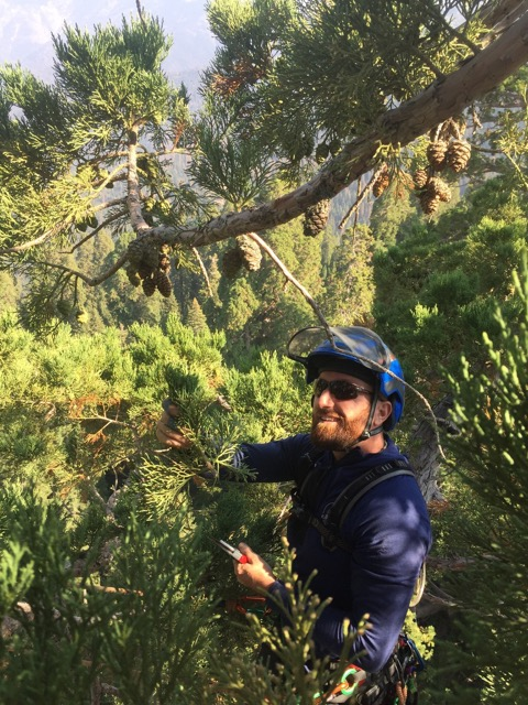 17. This is Damien Carré at the top of a sequoia on the top of the mountain collecting the new growth tips and cones at 250 feet up (76 M).